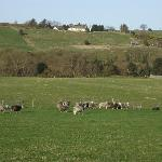 Sheep and surrounding area