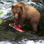 Cub enjoying his catch of a dying red salmon...