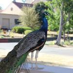 Peacock Everywhere