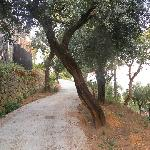 Olive Trees blocking the road.
