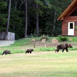 Grizzly sow and two cubs enjoying Tweedsmuir Lodge Hospitality