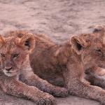 les lionceaux participent également au repas