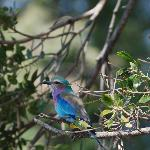 Lilac breasted roller right outside our room.