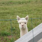 Little alpaca
