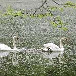 Cygnets with their parents in Durand