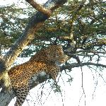 The elusive Leopard. Saw him scale this tree then promptly take a nap