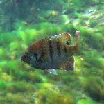 local fish - bluegill
