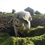 Floppy eared pig 2012