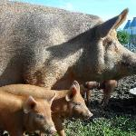 Mama and her baby pigs 2012