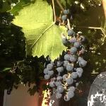 The grape vine in the courtyard was beautiful. I almost thought I could make my own wine.