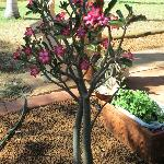 Beautiful Desert Rose