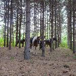 cavalli impastoiati in pineta