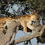 Lioness sleeping on a tree