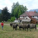 morning water buffalo parade