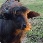 Ellen the water buffalo