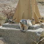 Une marmotte... très peu sauvage !