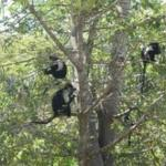 Colobus monkeys around the pool
