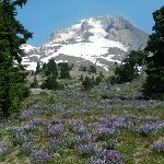 Mount Hood Amidst Wild Lavender