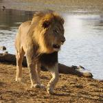 Lion in Madikwe