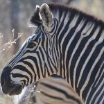 the zebras were great