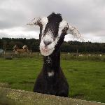 One of the friendly goats