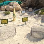 uova della tartaruga carretta carretta sulla spiaggia dei conigli