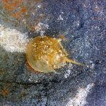 Baby Horseshoe Crab