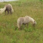 horses that graze in the field below
