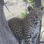 The leopard was fixed on a prey animal