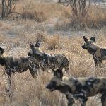 wild dogs out hunting