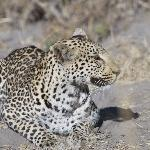 Another Leopard, same day