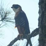 orange breasted falcon just a few feet away