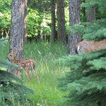 Month old fawn next to the camp ground