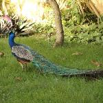 Paco the resort Peacock