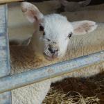 Lamb at Springbank