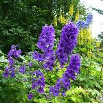 Delphiniums taller than me!