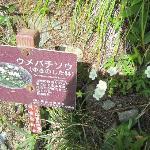 ウメバチ草