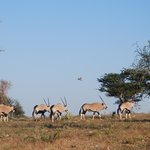 Oryx, my favourite anaimal and national symbol of Namibia on the open savannah at Okonjima, Nami