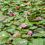 Lilly pads on the little pond