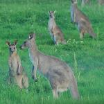 Roos everwhere each morning and late afternoon