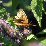 Butterfly Bush outside Sleeping Bear Room