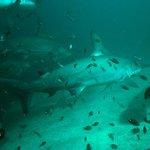 Buceo con Tiburon Martillo