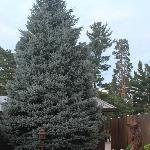 Blue Spruce at Cassidy's