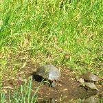 "Western Pond Turtle (California ""species of special concern"")"
