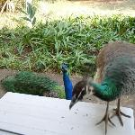 Peacocks outside our room.