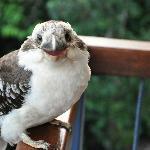 G'day Kookaburra