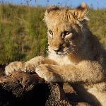 Shy shy lion in Lion Walk