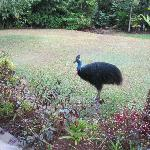 Cassowary in backyard