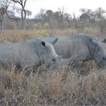 Second of the big five-Rhino eating in the grass;)