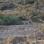 Lioness with cubs-fourth of the big five